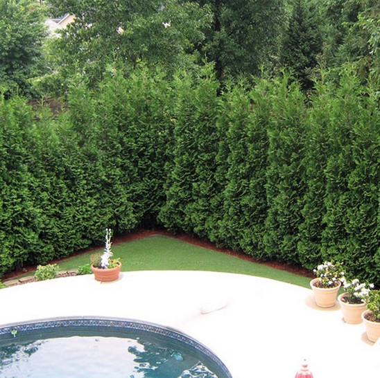 Clever Good Trees For Privacy Screeninteresting Ideas For Home Medium
