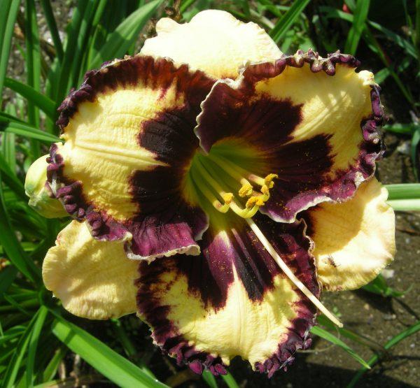 Collection Dayliliescarolyns Shade Gardens Medium