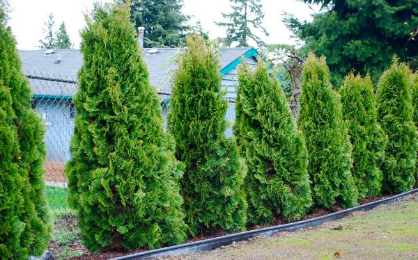 Collection Good Trees For Privacy Screeninteresting Ideas For Home Medium
