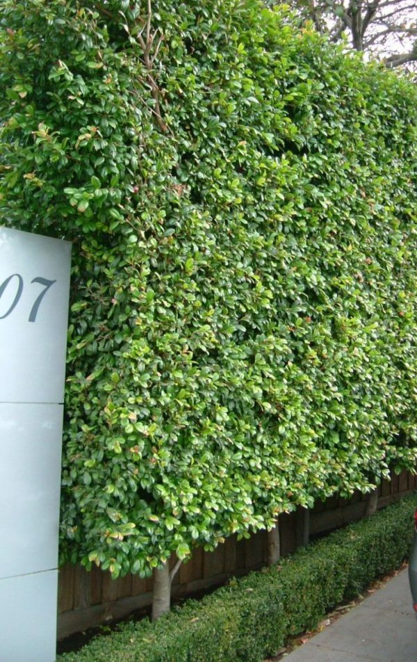 Fresh Best 25  Hedges Landscaping Ideas On Hedges Medium