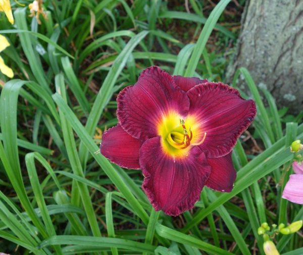 Get Daylilies Forum What Is Your Best Performer In Half Shade Medium