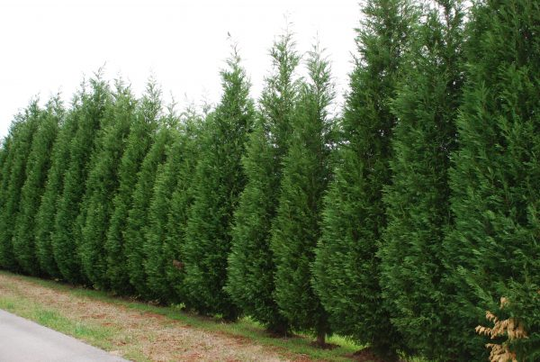 Popular Good Shrubs For Privacy Screen Medium