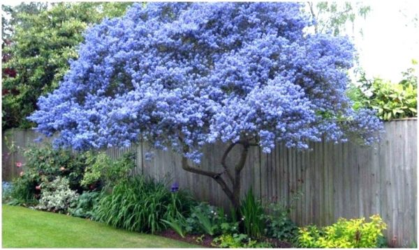 Style Best Backyard Trees For Privacy Good Trees For Privacy Medium