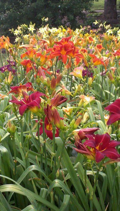 top daylily gardens work well in semishade use daylilies on medium