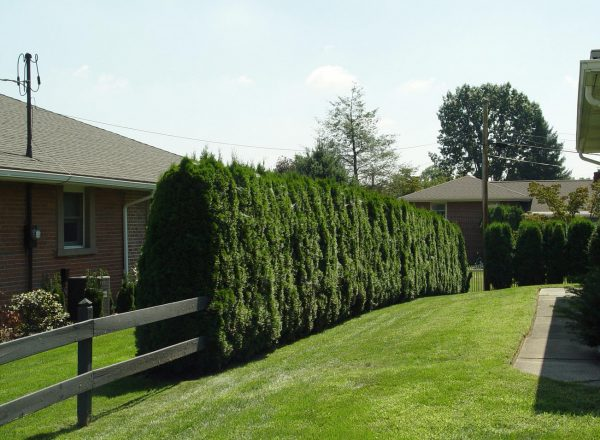 Top Good Trees For Privacy Screeninteresting Ideas For Home Medium