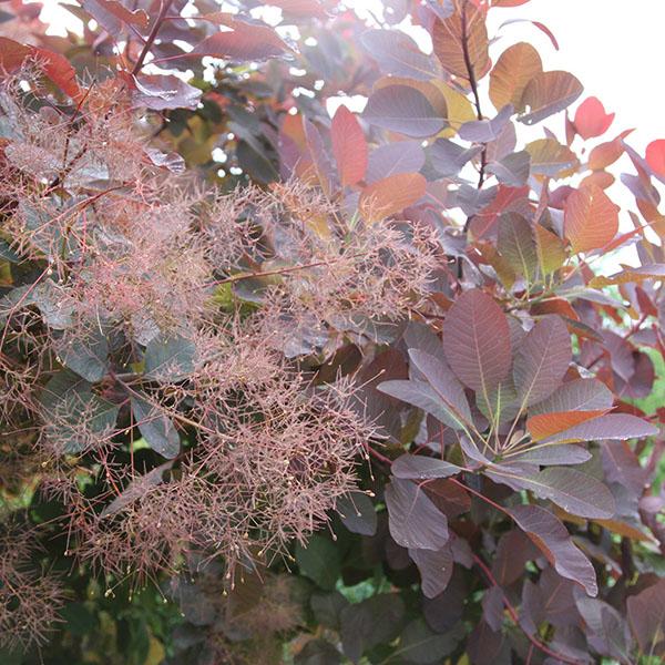 bore buy smoke bush cotinus grace delivery by crocus