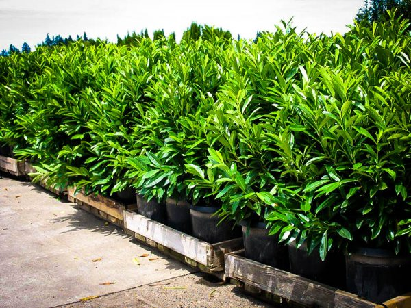 Bore Skip Laurel Shrubsbuy Skip Laurels Onlinethe Tree Center
