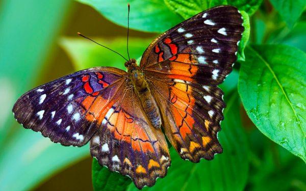 Browse Beautiful Butterfly Wallpaper 445wide Screen Wallpaper Medium