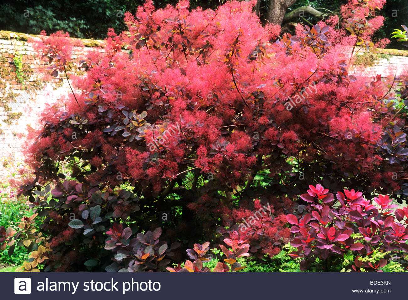 clever cotinus grace red blossom flower flowers garden plant