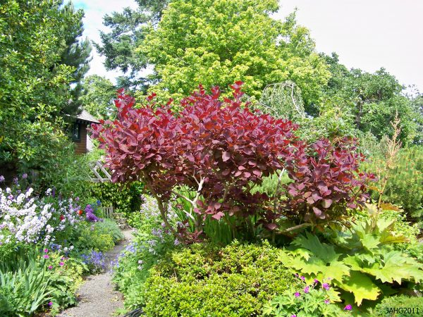 Collection Cotinus Coggygrianame That Plant Medium