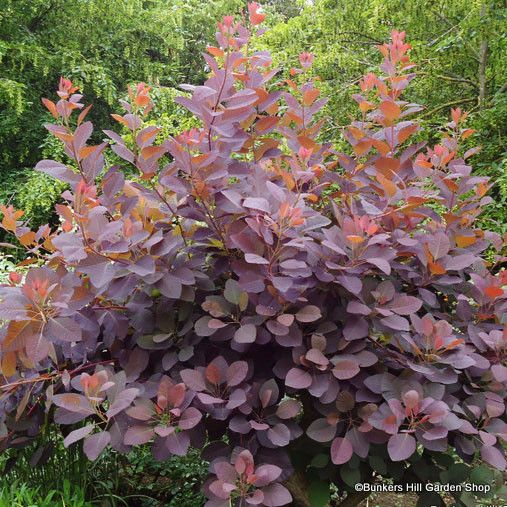 Creative Purple Smoke Bushcotinus Grace Shrubwarren Wood Medium