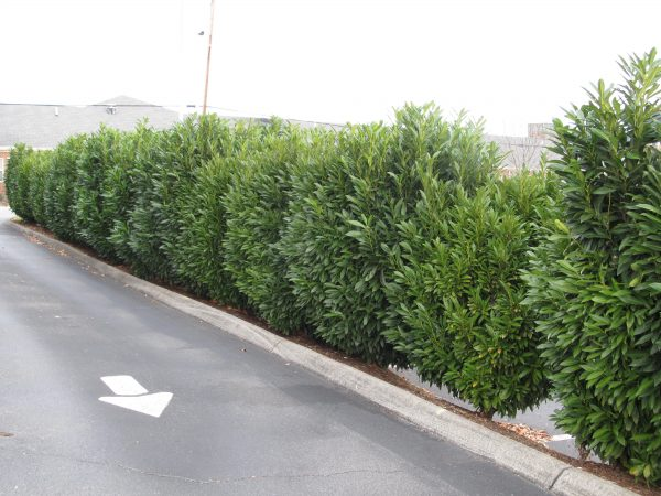 Creative Skip Schipka Laurel Creates Dense Evergreen Privacy Medium
