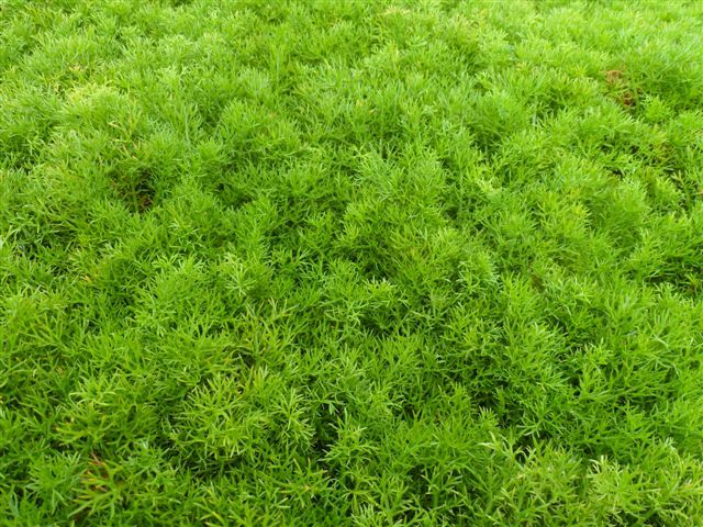 example of a 10 lawn alternatives to consider  aussie green thumb