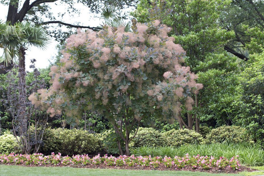 explore cotinus coggygria grace smoke bush