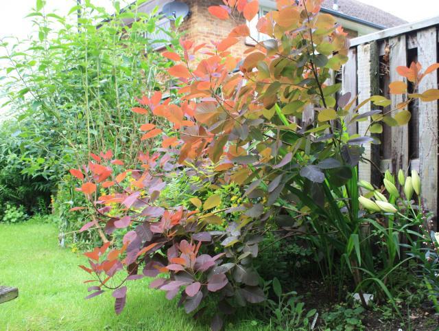 explore cotinus grace judi the gardener