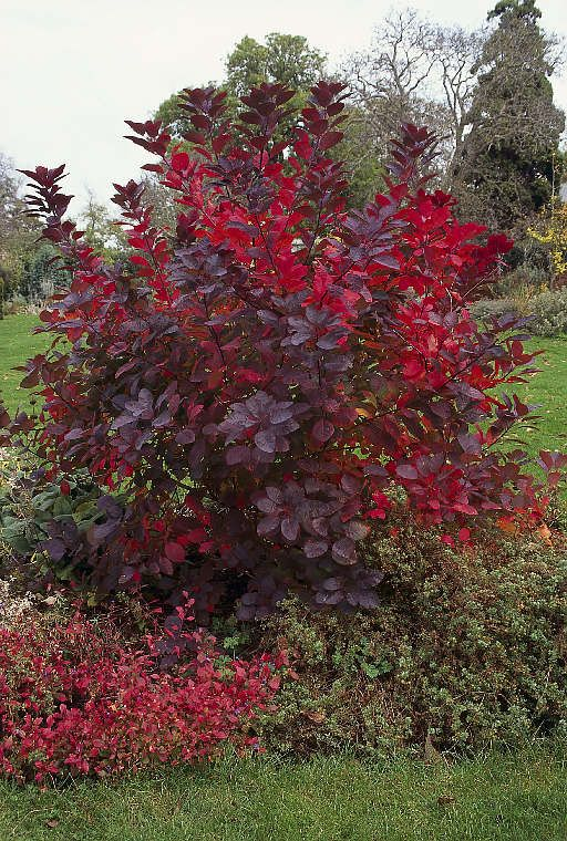 Explore Cotinus Grace Smoke Bushone Day When I Have A Medium