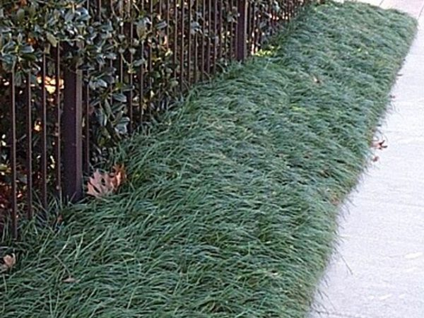 Explore Grasses   Ground Covers Hazeltine Nurseries Medium