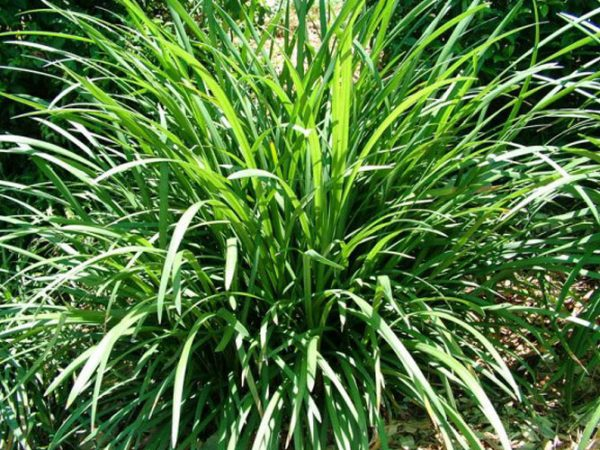 Fresh Grasses   Ground Covers Hazeltine Nurseries Medium