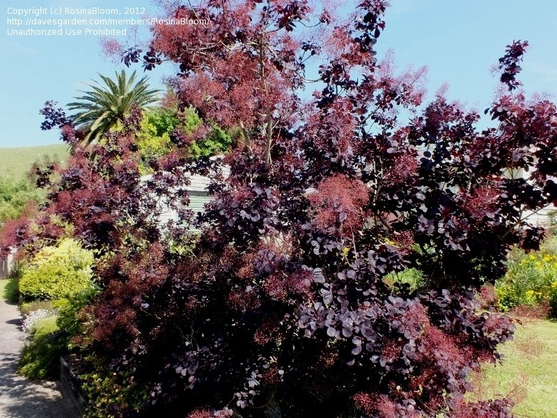 fresh plantfiles pictures smoke tree grace cotinus by
