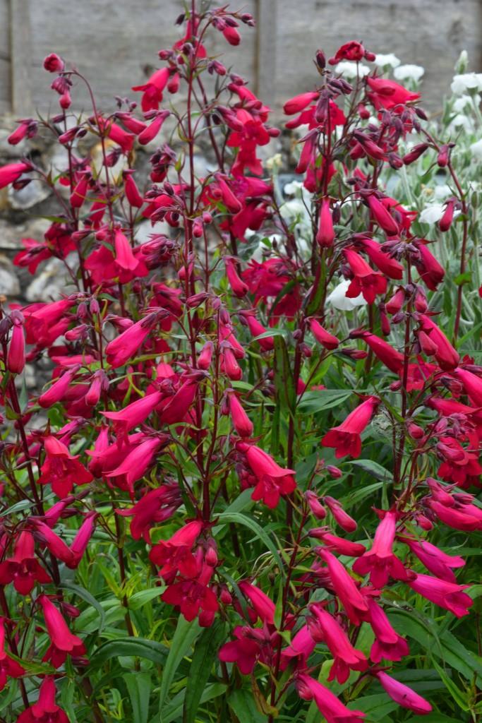 fresh top 5 cottage garden perennials this little home
