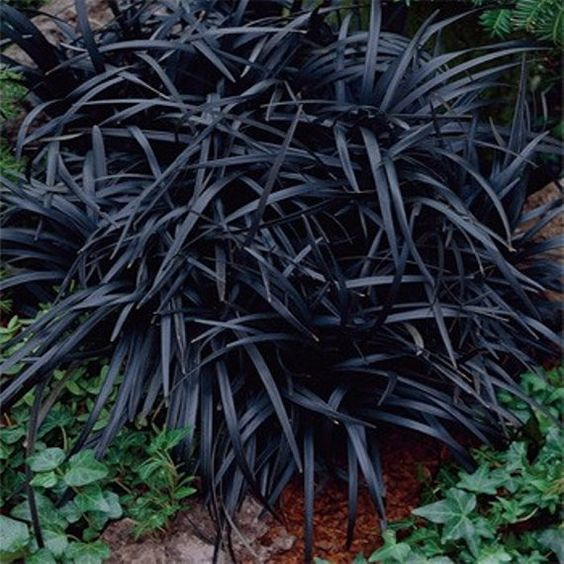 Get Ophiopogon Nigrescens Black Mondo 5 Plug Plants Medium