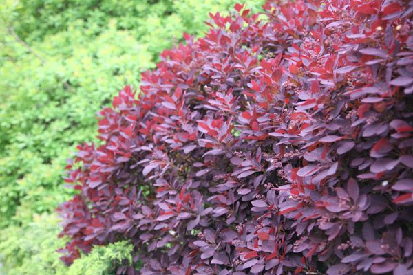 Innovative Buy Smoke Bush Cotinus Coggygria Royal Purple Delivery Medium
