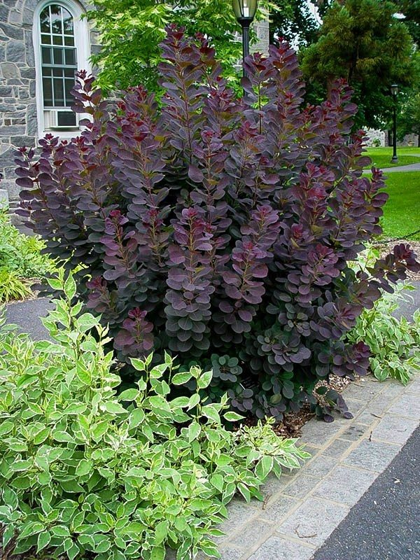 Innovative Purple Smoke Tree Gracethe Tree Center Medium
