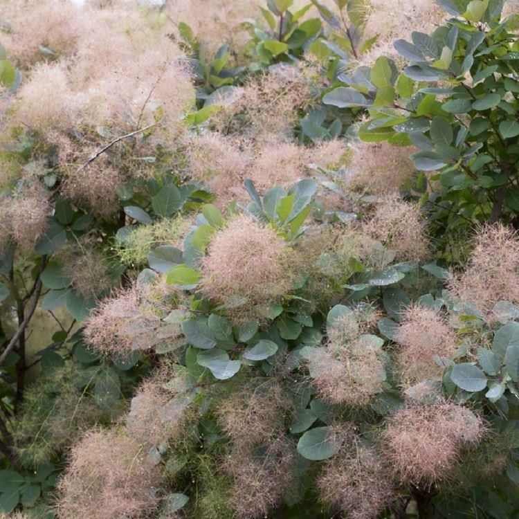 inspiration cotinus coggygria grace smoke bush