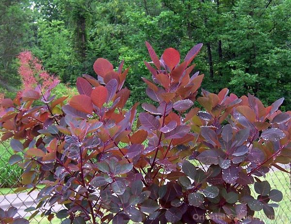 Inspiration Cotinus X Dummeri Grace Oriental Garden Supply Llc Medium