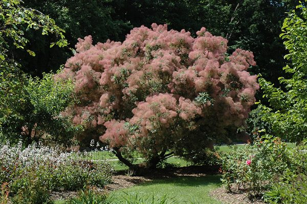 Inspirational Grace Smokebush Cotinus Grace In Inver Grove Heights Medium