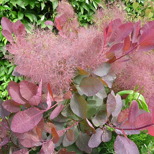 Looking Cotinus Coggygria Grace Seedscape Seeds Medium