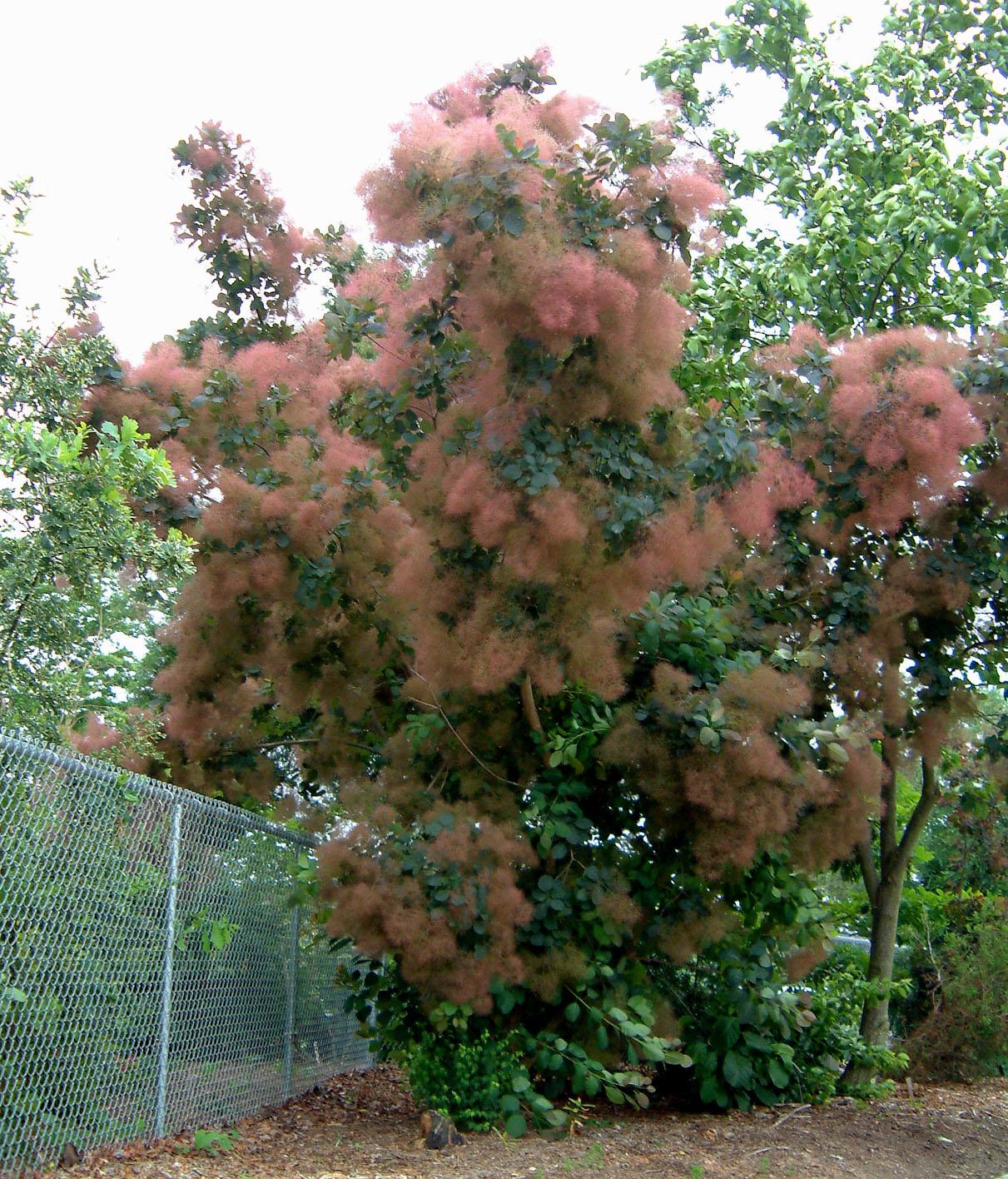 looking cotinus coggygria grace smokebush sunnyside gardens