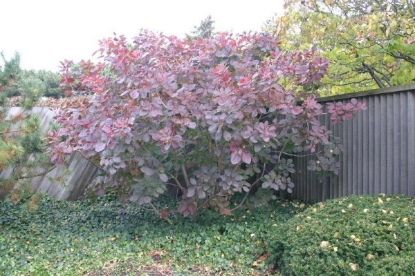 Looking Plantfiles Pictures Smoke Tree Grace Cotinus By Kevinmc79 Medium