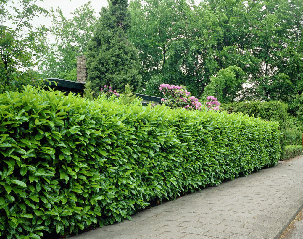 our favorite buy schip cherry laurel onlinefree shipping over  9999