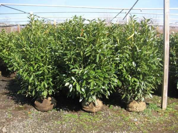 Our Favorite Skip Laurel Evergreen Privacy My Favorite Shrub By Far Medium