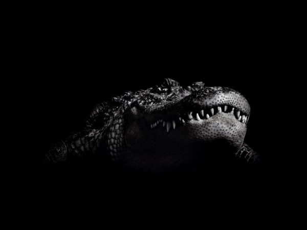 Search Black Crocodile Wallpaper Wallpapersafari Medium