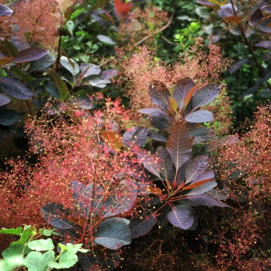 Search Cotinus Grace Grace Smoke Bush Blerick Trees Buy Online