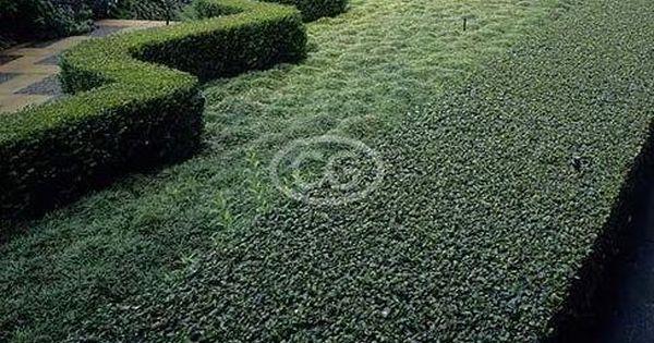 search dwarf mondo grassgrass free lawn dwarf