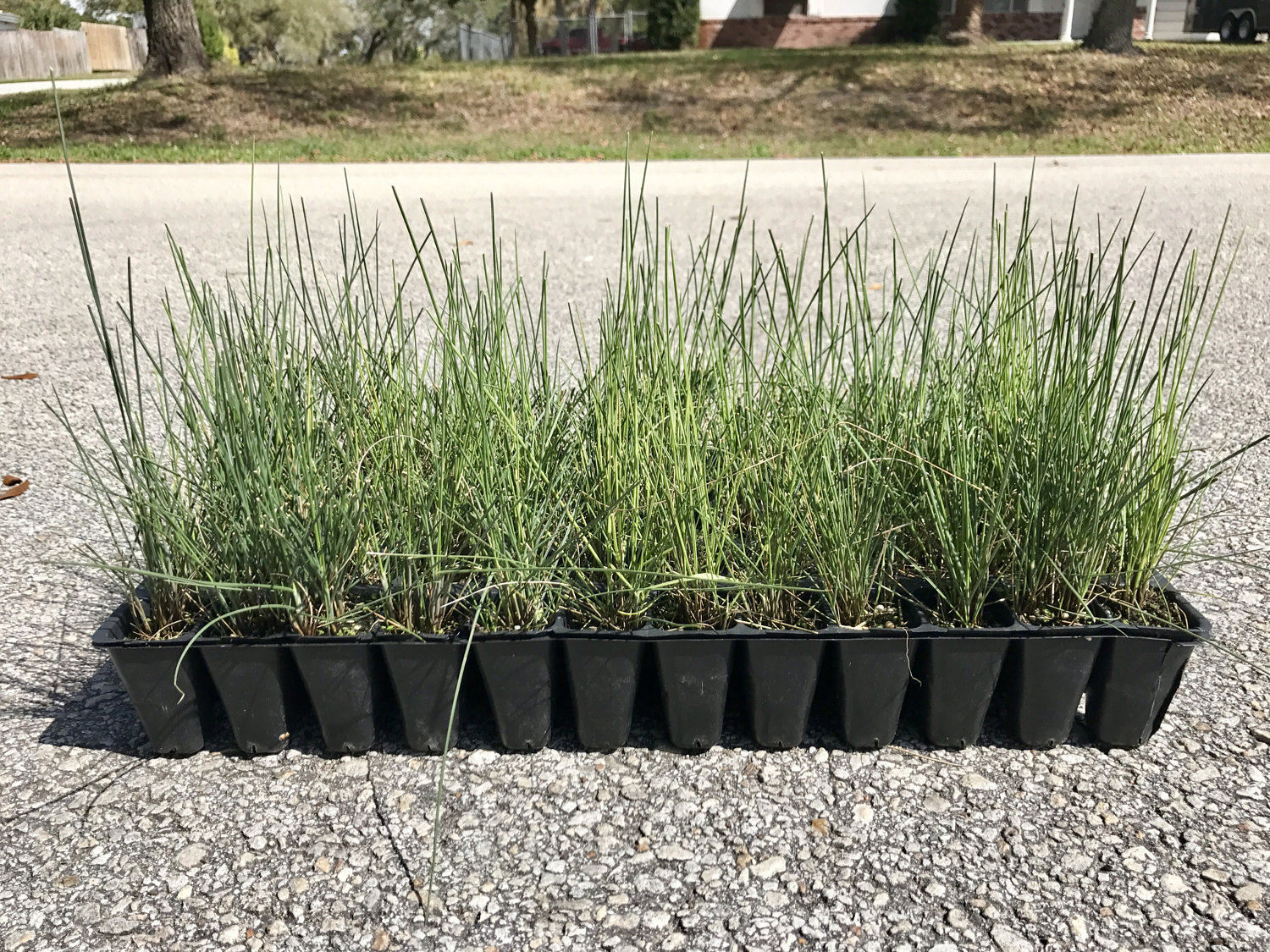 simply muhly grass live plants flowering ground cover