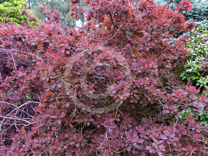 top cotinus gracegrace smoke bush information   photos