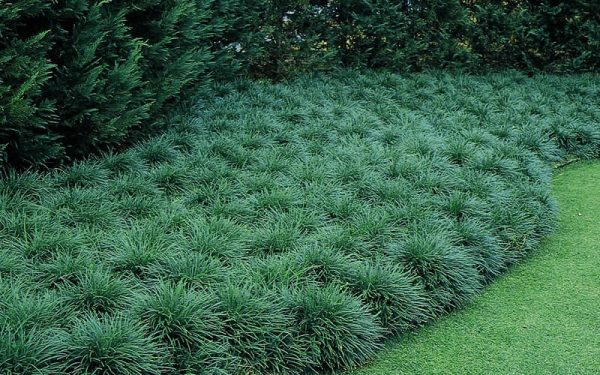 We Share Buy Mondo Grass Plants For Sale Online From Wilson Bros Medium