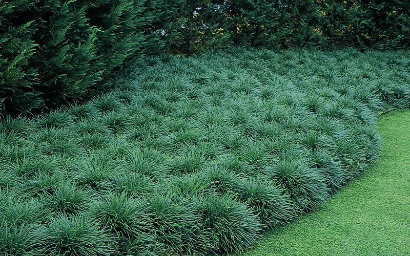 we share buy mondo grass plants for sale online from wilson bros