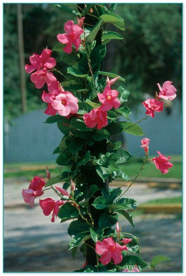Fresh Climbing Flowering Plants For Trellis 3 Medium