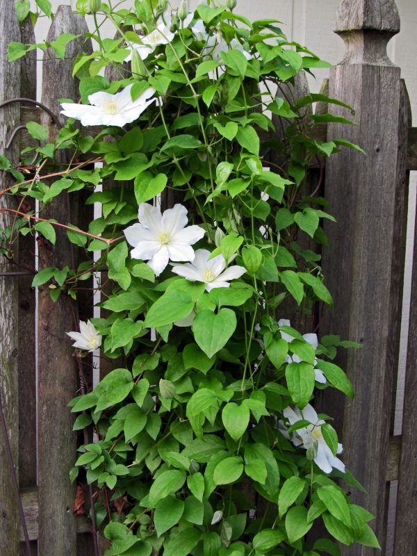 Style 10 Best Flowering Vines For Arches Pergola Arbor And Medium