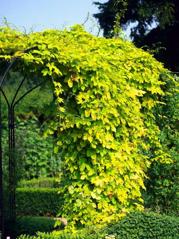 Top 15 Climbing Vines For Lattice Trellis Or Pergola Medium