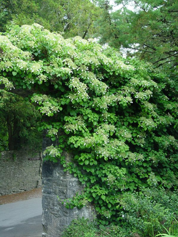 Top Climbing Hydrangeagarden Housecalls Medium