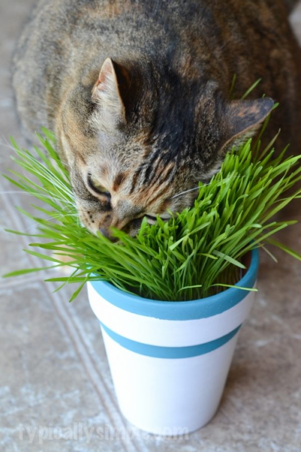 Bore Diy Indoor Cat Grass Garden Typically Simple Medium