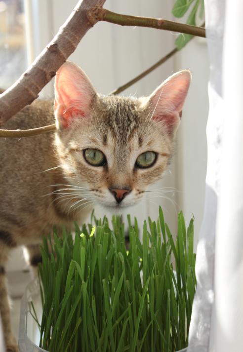 inspirational  feline 101  catsafe grass and herb gardens for spoiled