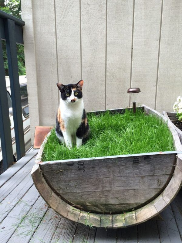 We Share Best 25  Cat Grass Ideas On Cat Garden Cat Medium