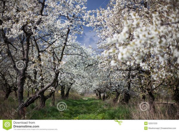 Bore The Spring In The Garden Flourishing Fruit Trees Stock Medium